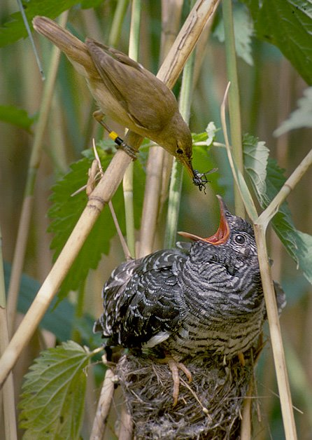 Reed Warbler feeding a Common Cuckoo chick in a nest. Photo: Per H. Olsen