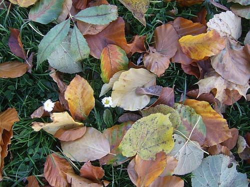 Gänseblümchen und Herbstlaub
