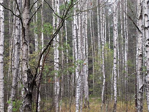 Birken im Pfrentschweiher