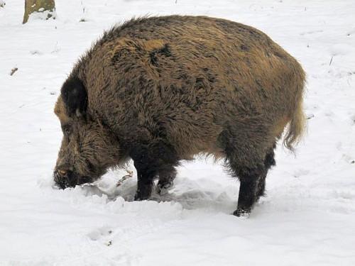 wildschwein_eber